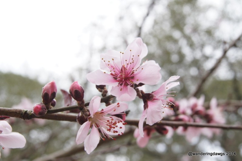 Peach Blossoms in Georgia